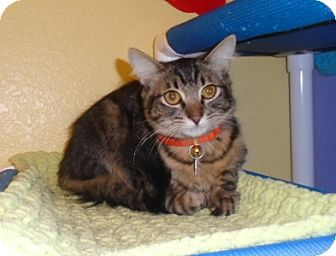 Domestic Mediumhair Cat for adoption in Westminster, Colorado - Q-Tip