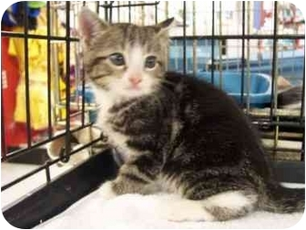 American Shorthair Kitten for adoption in Frenchtown, New Jersey - Spike