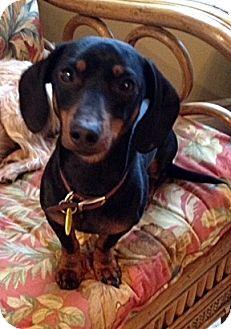 Dachshund Mix Dog for adoption in Toronto, Ontario - Patriot