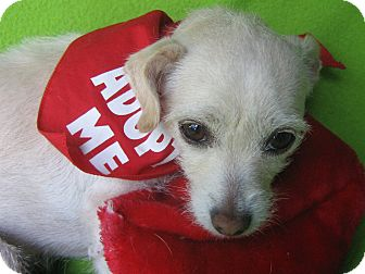 Cairn Terrier/Westie, West Highland White Terrier Mix Dog for adoption in Irvine, California - Abella-WATCH MY VIDEO!!