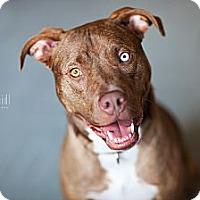 Adopt A Pet :: Sinatra - Reisterstown, MD