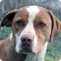 Adopt A Pet :: Duce - Germantown, MD