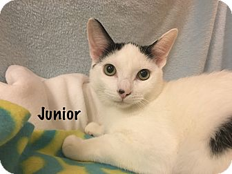 Domestic Shorthair Cat for adoption in Foothill Ranch, California - Junior
