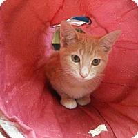 Adopt A Pet :: Kitten 15095 (Adam) - Parlier, CA