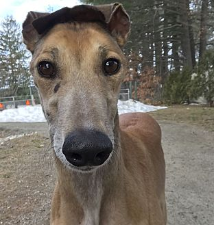 Greyhound Dog for adoption in Swanzey, New Hampshire - DeeDee
