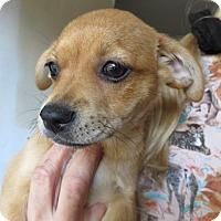 Adopt A Pet :: Izzy ADORABLE Puppy - St Petersburg, FL
