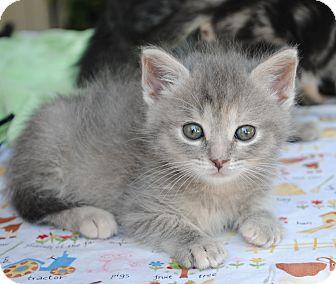 Domestic Shorthair Kitten for adoption in Palmdale, California - Delilah (aka Tortie Girl)