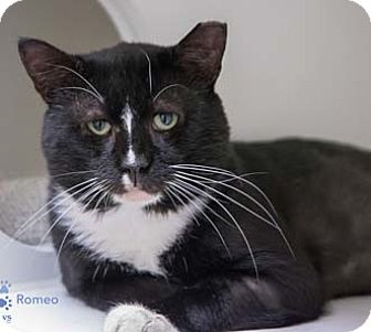 Domestic Shorthair Cat for adoption in Merrifield, Virginia - Romeo