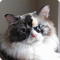 Ragdoll Cat for adoption in Winston-Salem, North Carolina - Sydney