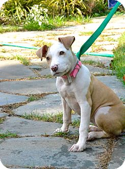 American Pit Bull Terrier Mix Puppy for adoption in Reisterstown, Maryland - Avery