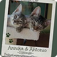 Domestic Shorthair Kitten for adoption in Lincoln, Nebraska - ANNIKA & ANTONIO