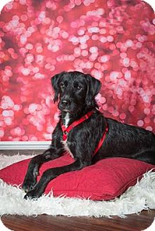 Retriever (Unknown Type) Mix Dog for adoption in Plano, Texas - Spinner