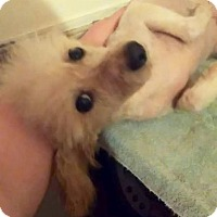Toy Poodle Dog for adoption in Leesburg, Virginia - Tigg