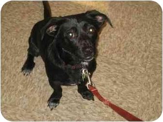 Dachshund Mix Dog for adoption in Scottsdale, Arizona - Klinger