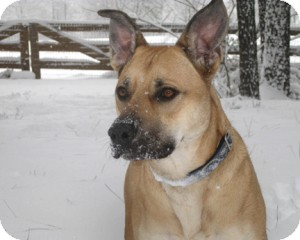 American Staffordshire Terrier Mix Dog for adoption in Richmond, Virginia - Zella