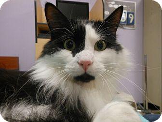 Domestic Longhair Cat for adoption in Reston, Virginia - Harley