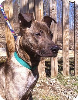 Mountain Cur Mix Dog for adoption in Youngstown, Ohio - Suzy