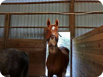 Thoroughbred Mix for adoption in Elverta, California - Boston