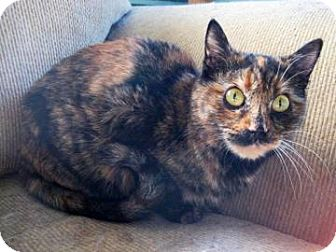 Domestic Mediumhair Cat for adoption in Tucson, Arizona - Leigh