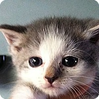 Adopt A Pet :: Kisses - Island Park, NY
