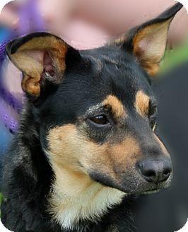 Doberman Pinscher Mix Dog for adoption in Portland, Indiana - Tiffa