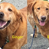 Adopt A Pet :: Ginger (and Buff) - New Canaan, CT