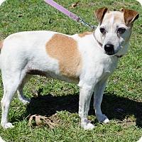 Adopt A Pet :: Gigi in Denton, TX - Dallas/Ft. Worth, TX