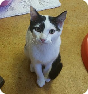 Domestic Mediumhair Cat for adoption in Tallahassee, Florida - Louise