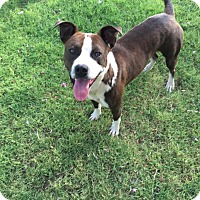 Pit Bull Terrier Mix Dog for adoption in Snyder, Texas - Fletcher