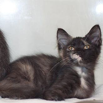 Domestic Mediumhair Kitten for adoption in New Martinsville, West Virginia - Skye