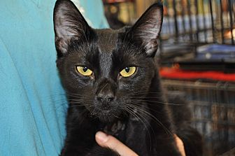 Domestic Shorthair Kitten for adoption in La Canada Flintridge, California - Thalia