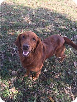 Golden Retriever Dog for adoption in Russellville, Kentucky - Reba
