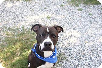 Boxer/Pit Bull Terrier Mix Dog for adoption in Greensboro, North Carolina - Joker