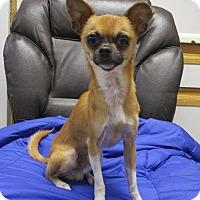 Adopt A Pet :: Rudolf (Rudy) - Shawnee Mission, KS