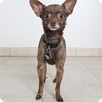 Chihuahua Dog for adoption in Edina, Minnesota - Philip D170222: NO LONGER ACCEPTING APPLICATIONS