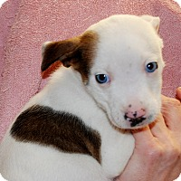 Adopt A Pet :: Bell - Salem, WV