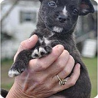 Adopt A Pet :: BROWNIE (DELICIOUS) - Wakefield, RI
