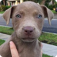 Adopt A Pet :: Angel#9F - Orlando, FL