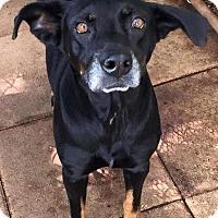 Adopt A Pet :: DOODLES - Odessa, FL
