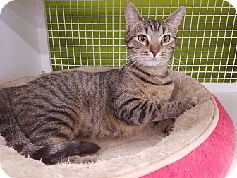 Domestic Shorthair Cat for adoption in Louisville, Kentucky - BeBe