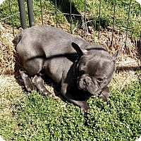 Adopt A Pet :: Blue Frenchie - WOODSFIELD, OH