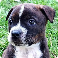 Pit Bull Terrier Mix Puppy for adoption in Hillsboro, New Hampshire - Ranger