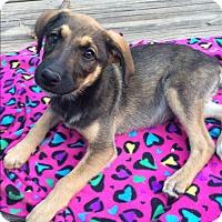 Adopt A Pet :: Sahara - Brattleboro, VT