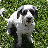 Adopt A Pet :: Harper - Henderson, NV