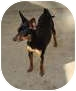 Miniature Pinscher Mix Dog for adoption in Leesport, Pennsylvania - Tinkerbell is darling!