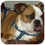 Photo 1 - English Bulldog Dog for adoption in conyers, Georgia - caleb