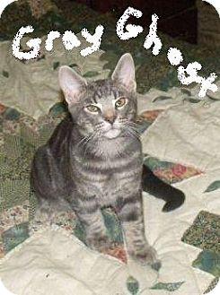 Domestic Shorthair Kitten for adoption in Huntsville, Ontario - Gray Ghost - Born in May!