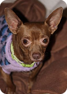 Chihuahua Mix Dog for adoption in Westminster, Colorado - Henry