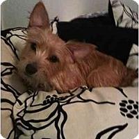 Adopt A Pet :: Bella - Arlington, TX