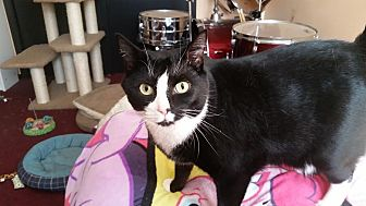 Domestic Shorthair Cat for adoption in Westbury, New York - Laverne